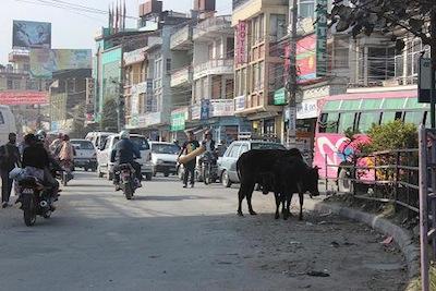 ネパール・ポカラの道路脇で餌をさがす水牛。